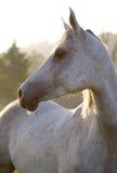 Cavallo su sinrise Fotografie Stock