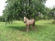 Cavallo su un albero Fotografia Stock Libera da Diritti