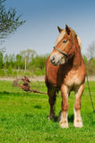 Cavallo su un campo con la vecchia macchina agricola Fotografia Stock Libera da Diritti