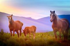 Cavallo su un campo nelle montagne fotografia stock libera da diritti
