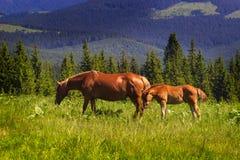 Cavallo su un campo nelle montagne fotografie stock