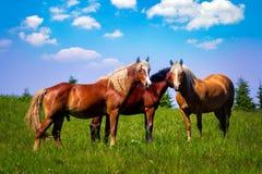 Cavallo su un campo nelle montagne fotografie stock libere da diritti