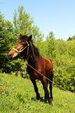 Cavallo su un guinzaglio nella montagna Fotografia Stock