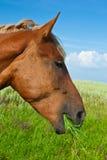Cavallo su un prato Fotografia Stock Libera da Diritti