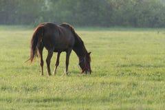 Cavallo su un prato Cavalli su un pascolo di estate immagine stock