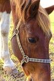 Cavallo su un recinto chiuso Immagine Stock