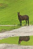Cavallo su un verde Fotografia Stock