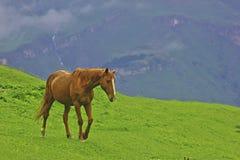 Cavallo su un verde Fotografie Stock Libere da Diritti