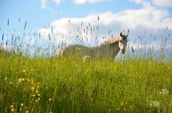 Cavallo sul campo Fotografia Stock Libera da Diritti