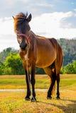 Cavallo sul pascolo Fotografia Stock