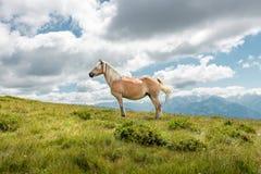 Cavallo sul pascolo della montagna Immagini Stock Libere da Diritti