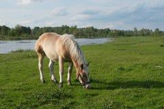 Cavallo sul prato Immagine Stock