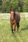Cavallo sul prato con le margherite Fotografia Stock Libera da Diritti