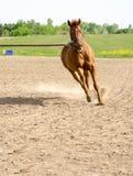 Cavallo sulla linea di affondo Fotografia Stock