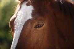 Cavallo sulla natura Ritratto di un cavallo, cavallo marrone Fotografie Stock Libere da Diritti
