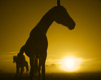 Cavallo in sunrise_toned Immagini Stock Libere da Diritti