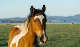 Cavallo triste ed irritato nella riserva naturale del lago Baikal Fotografia Stock Libera da Diritti