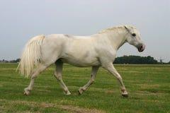 Cavallo trottante arrabbiato Fotografia Stock Libera da Diritti