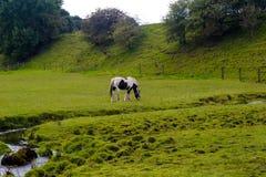 Cavallo in un campo Immagini Stock