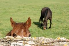 Cavallo in un campo Fotografia Stock Libera da Diritti