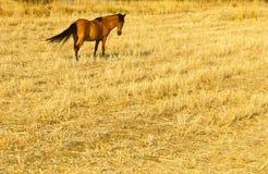 Cavallo in un campo Immagini Stock Libere da Diritti