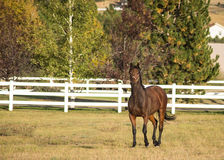 Cavallo in un campo con il recinto e gli alberi bianchi Immagine Stock Libera da Diritti