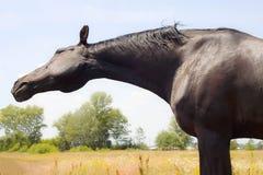 Cavallo un giorno di estate in un prato Fotografia Stock
