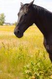 Cavallo un giorno di estate in un prato fotografie stock