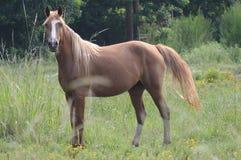 Cavallo in un pascolo Fotografia Stock Libera da Diritti