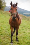 Cavallo in un pascolo nelle montagne Immagini Stock