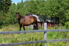 Cavallo in un prato Immagine Stock