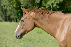 Cavallo in un prato immagini stock libere da diritti