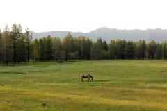 Cavallo in un prato della montagna Fotografia Stock Libera da Diritti