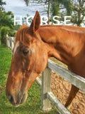 Cavallo in una stalla Immagini Stock