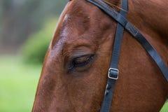 Cavallo vicino su sulla testa Fotografie Stock