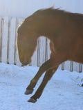 Cavallo vispo Fotografie Stock Libere da Diritti