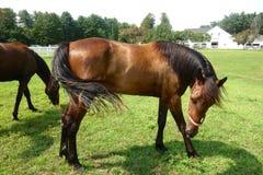 Cavallo, vista laterale, stando nel prato o nel campo fotografie stock libere da diritti