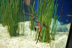 Cavalluccio marino raro in oceano Fotografia Stock