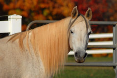Cavalo árabe Fotografia de Stock