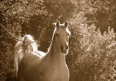 Cavalo árabe Fotos de Stock Royalty Free