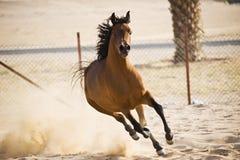 Cavalo árabe Foto de Stock Royalty Free
