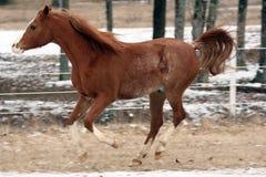 Cavalo árabe Fotografia de Stock Royalty Free