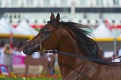 Cavalo árabe Foto de Stock