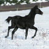Cavalo árabe bonito que corre no inverno foto de stock royalty free
