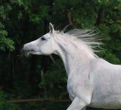 Cavalo árabe branco Imagem de Stock Royalty Free