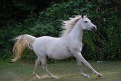 Cavalo árabe branco Imagem de Stock