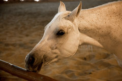 Cavalo árabe branco do puro-sangue em Doha, Catar foto de stock royalty free