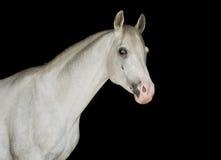 Cavalo árabe branco em um fundo preto Fotos de Stock Royalty Free