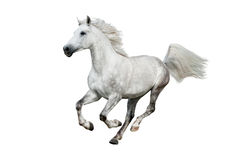 Cavalo árabe branco isolado no branco Fotografia de Stock Royalty Free