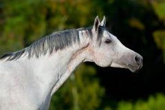 Cavalo árabe branco no campo Imagens de Stock Royalty Free